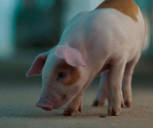 Diferencias entre cerdo Duroc y cerdo blanco