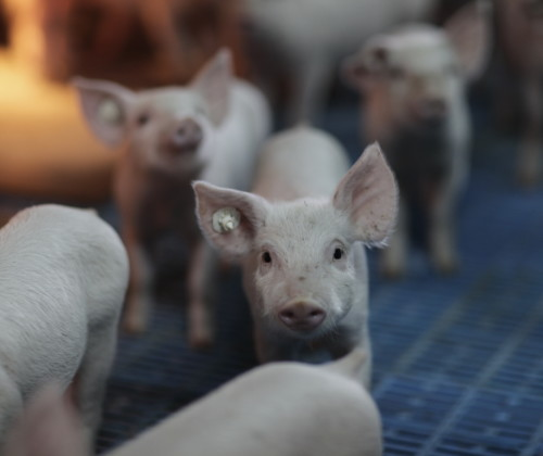 Sector porcino español, una industria esencial